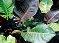 Philidendron Red Emperial