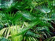 Thrinax Palms